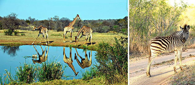 Elephant Herd Tours and Safaris - Kruger National Park