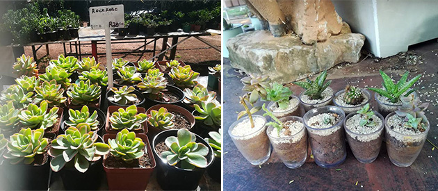 Rocking Horse Ranch, Landscaping, Indigenous Trees, Plants, Cacti, Succulents, Eggs, Bonsai, Nursery, Coffee Shop, Farm Yard, Bela-Bela, waterberg, limpopo